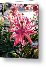Sunlit Fancy Pink Columbine Greeting Card