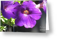 Sunlit Petunias Greeting Card