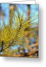 Sunlit Pine Leaders Greeting Card