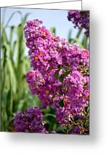 Sunlit Purple Crepe Mertle Greeting Card