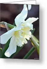 Sunlit White Daffodil Greeting Card