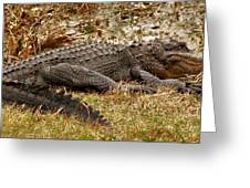 Sunning Alligator. Wetlands Park. Greeting Card