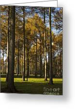 Sunny Larch Grove Greeting Card