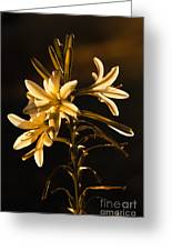 Sunrise Ajo Lily Greeting Card