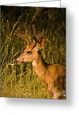 Sunset Buck Greeting Card