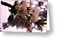 Sunset Cherry Blossoms Greeting Card