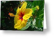 Sunshine Yellow Hibiscus With Red Throat Greeting Card