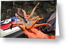 Sunstar Feeds On Sea Cucumber Greeting Card