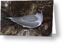 Swallow-tailed Gull And Chick Calling Greeting Card by Tui De Roy