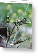 Swallowtail Caterpillars On Dillweed Greeting Card