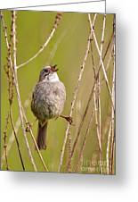 Swamp Sparrow Split Decision Greeting Card