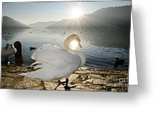 Swan In Sunset Greeting Card