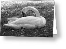 Swan Nap Greeting Card