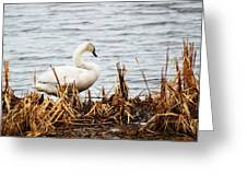 Swan On Shore Greeting Card