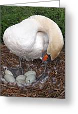 Swan Watching Over The Eggs Greeting Card