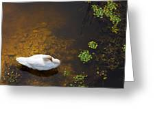 Swan With Sun Reflection On Water. Greeting Card