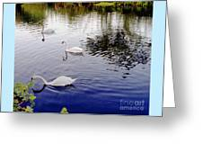 Swan's 3 In A Group. Greeting Card