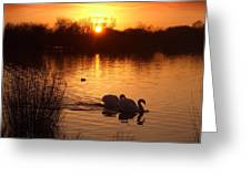 Swans At Sunset Greeting Card by Ed Pettitt