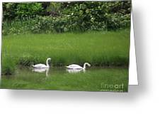 Swans Of Chatham Greeting Card