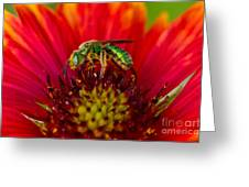 Sweat Bee Collecting Pollen Greeting Card