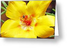 Sweat Bee On Rock Rose Two Greeting Card by Walter Klockers