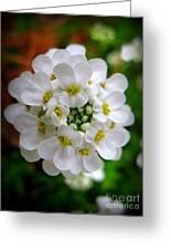 Sweet Alyssum Greeting Card