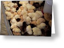 Sweet Baby Chicks For Sale Greeting Card