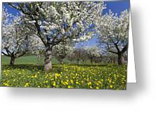 Sweet Cherry Orchard In Full Bloom Greeting Card