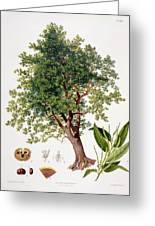 Sweet Chestnut Greeting Card by Johann Kautsky