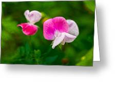 Sweet Pea Blossoms Greeting Card