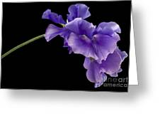 Sweet Pea Study Greeting Card by Anne Gilbert