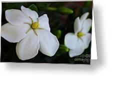 Sweet Smell Of Gardenias  Greeting Card