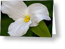 Sweet White Trillium 5 Greeting Card