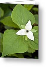 Sweet White Trillium Greeting Card