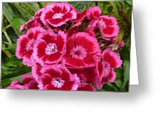 Sweet William Has A Pink Eye Greeting Card