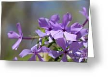 Sweet William Purple Wildflower Springtime Greeting Card