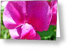 Sweetpea Flower Upclose Greeting Card