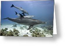 swimming Bottlenose dolphins Greeting Card