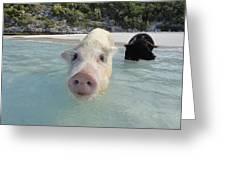 Swimming Pigs Greeting Card
