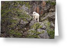 Switchback Goat 4 Greeting Card