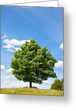 Sycamore  Acer Pseudoplatanus Greeting Card