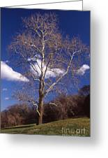 Sycamore On The Hill Greeting Card