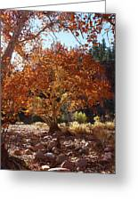 Sycamore Trees Fall Colors Greeting Card