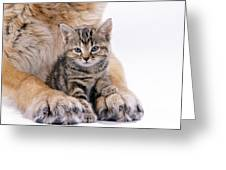 Tabby Kitten Between Large Dogs Paws Greeting Card