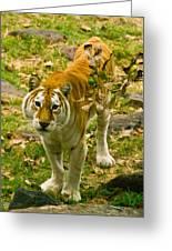 Tabby Tiger IIi Greeting Card