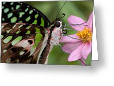 Tailed-jay Butterfly Greeting Card