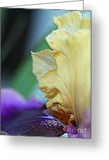 Tall Bearded Iris Named Final Episode Greeting Card