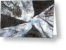 Tall Birches Greeting Card