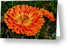 Tangerine Calendula Greeting Card
