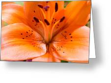 Tangerine Daylily Closeup Greeting Card